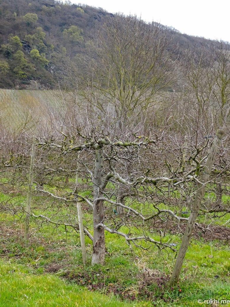 Mosel - Baum oder Weinrebe? Man weiß es nicht...