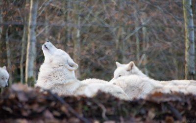 Wer hat Angst vorm saarländischen Wolf? | ein Micro Adventure im Wolfspark Werner Freund in Merzig (Saarland)