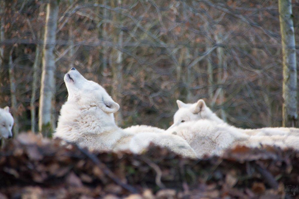Wer hat Angst vorm saarländischen Wolf? | ein Micro Adventure im Wolfspark Werner Freund in Merzig