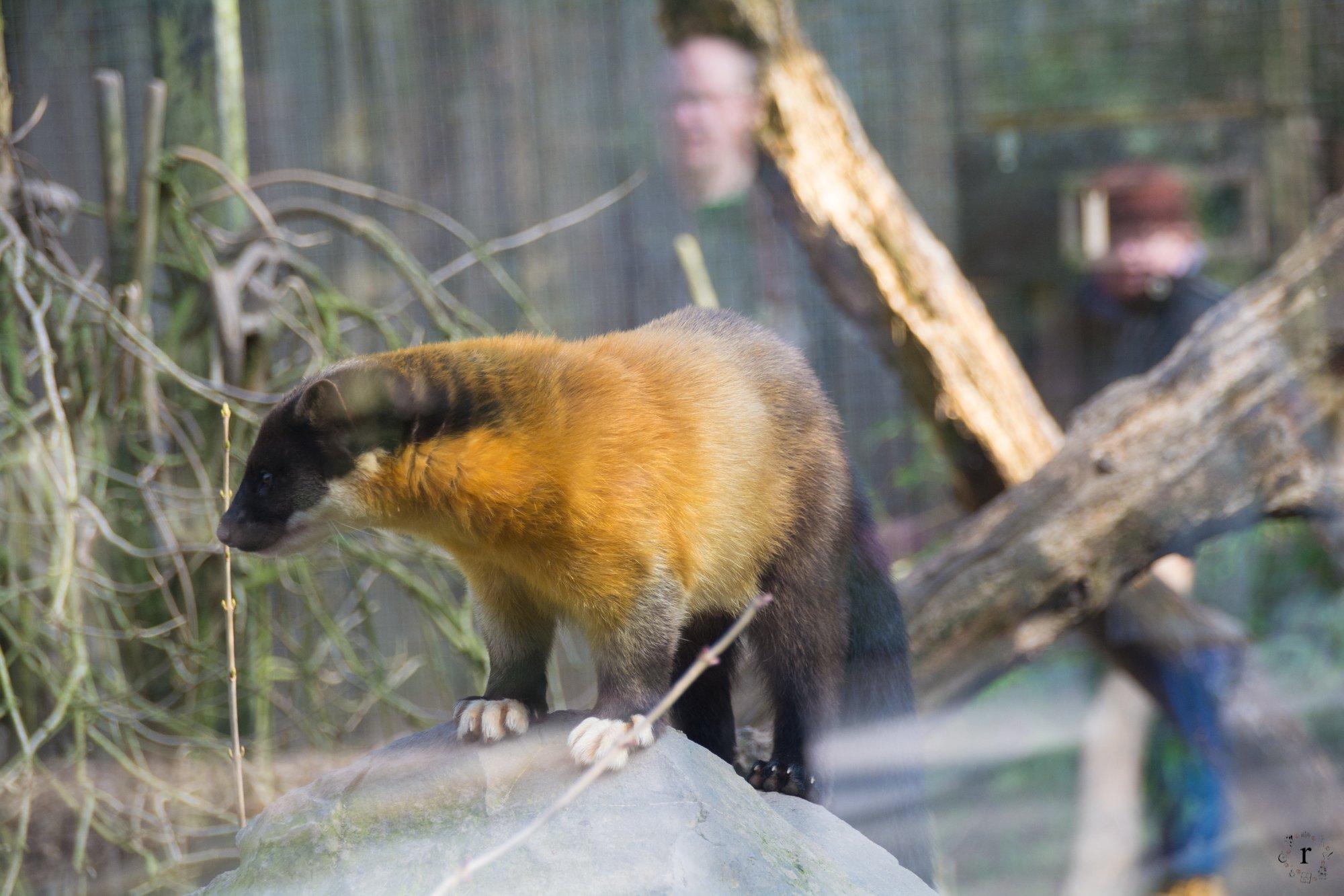 Neunkircher Zoo - Marder