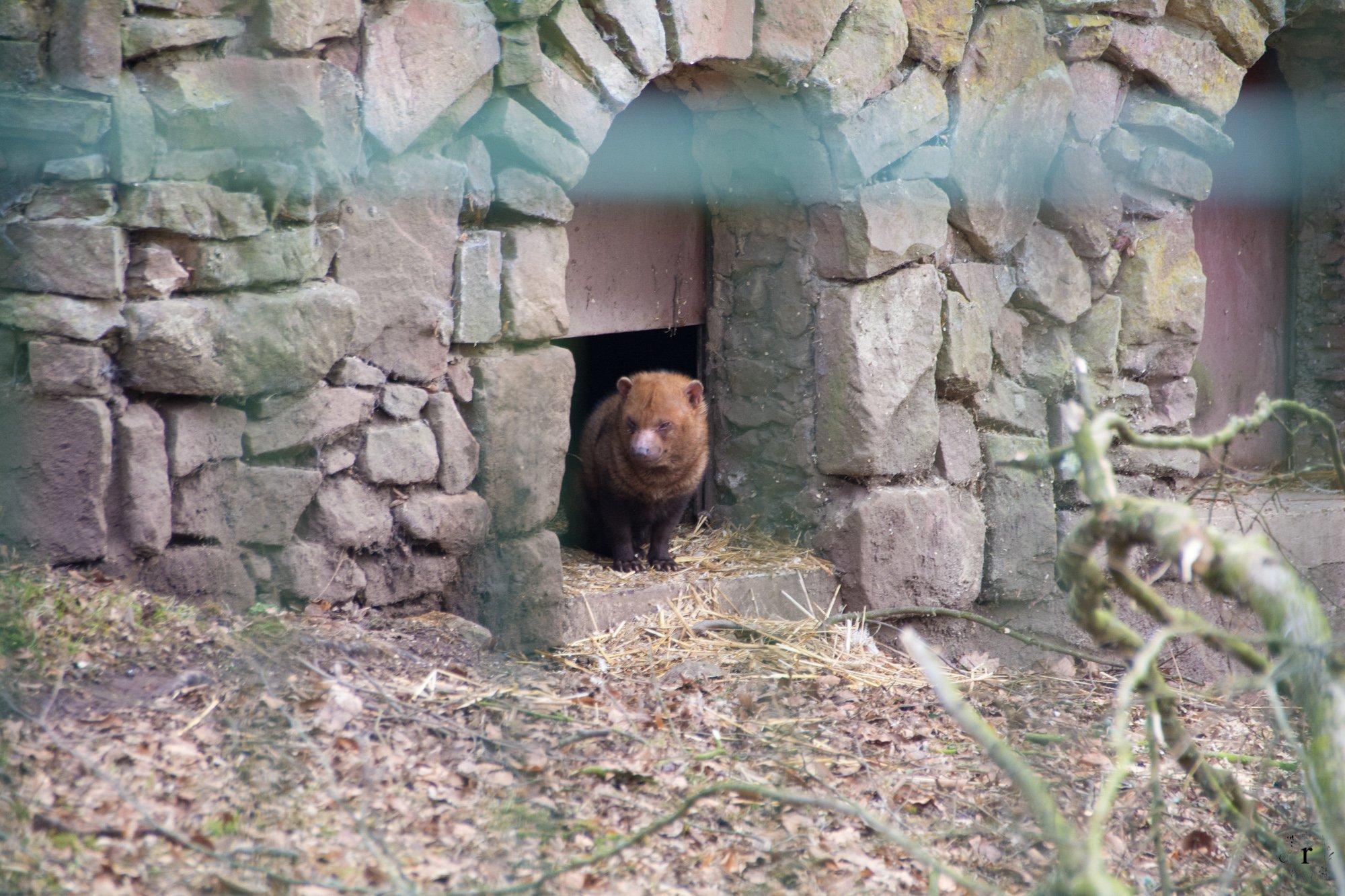 Neunkircher Zoo - Waldhunde