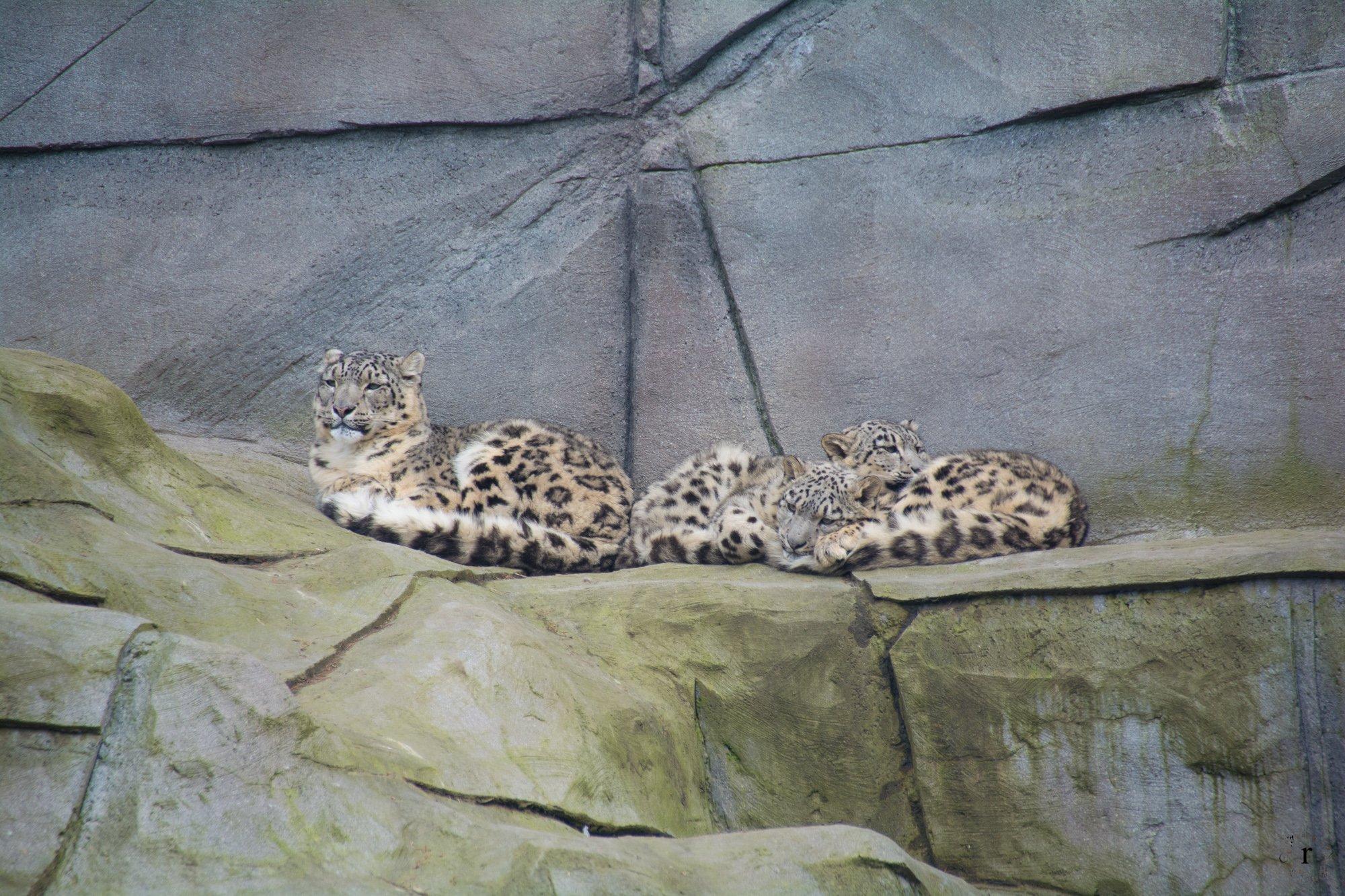Neunkircher Zoo - Schneeleoparden
