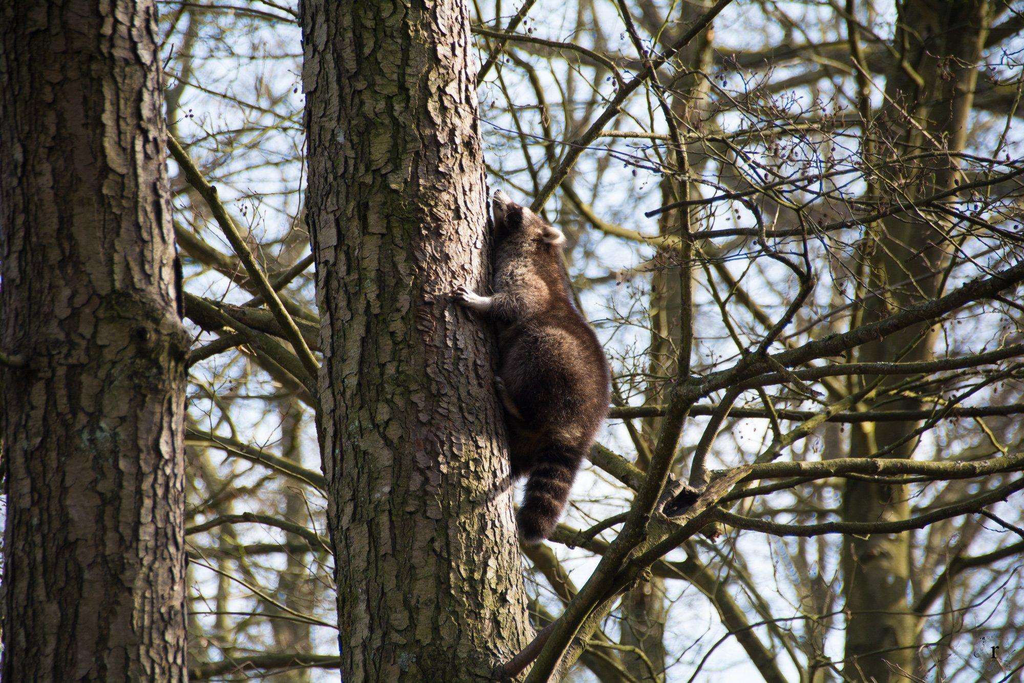Neunkircher Zoo - Waschbär