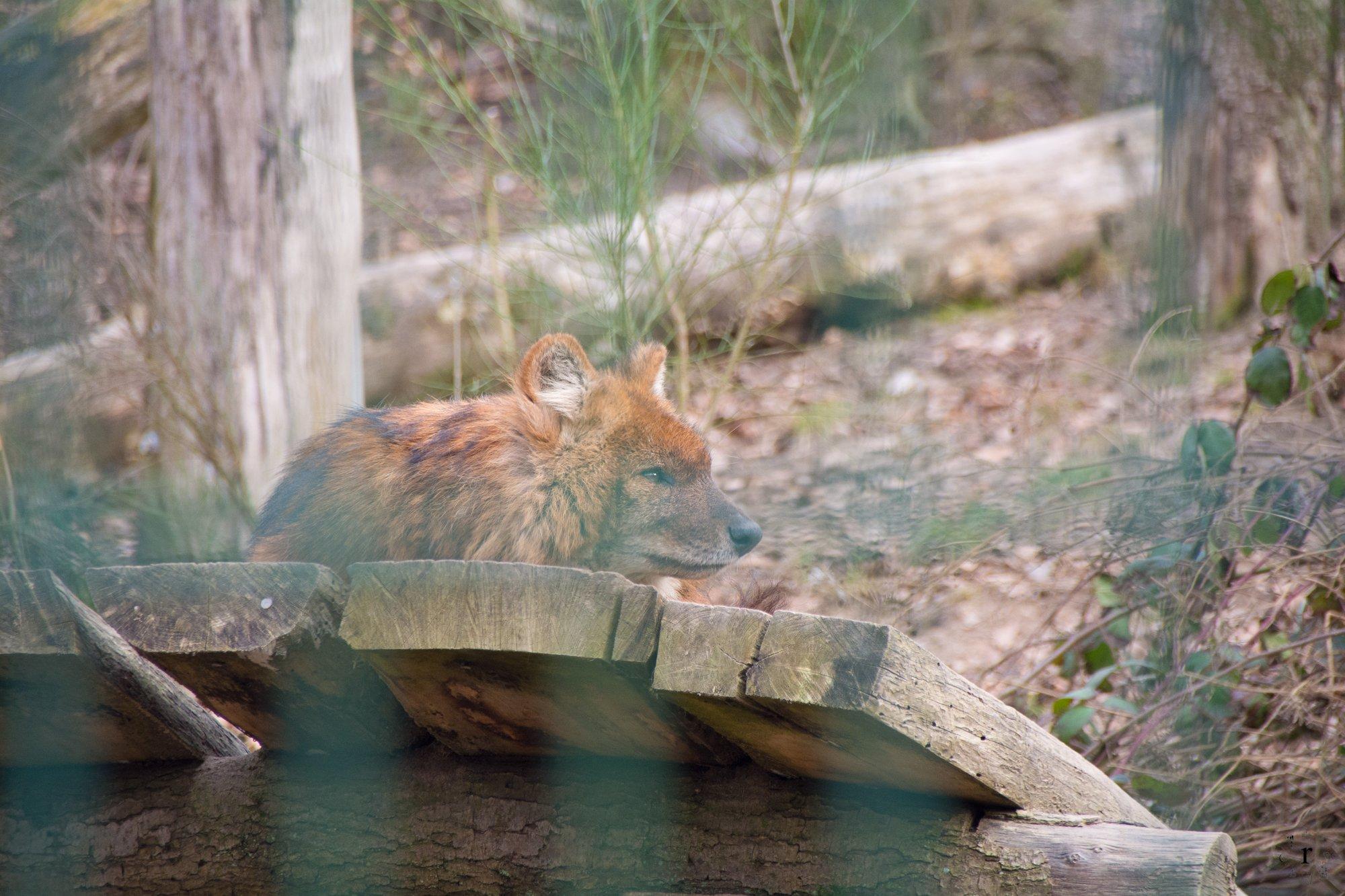 Neunkircher Zoo - Rothunde