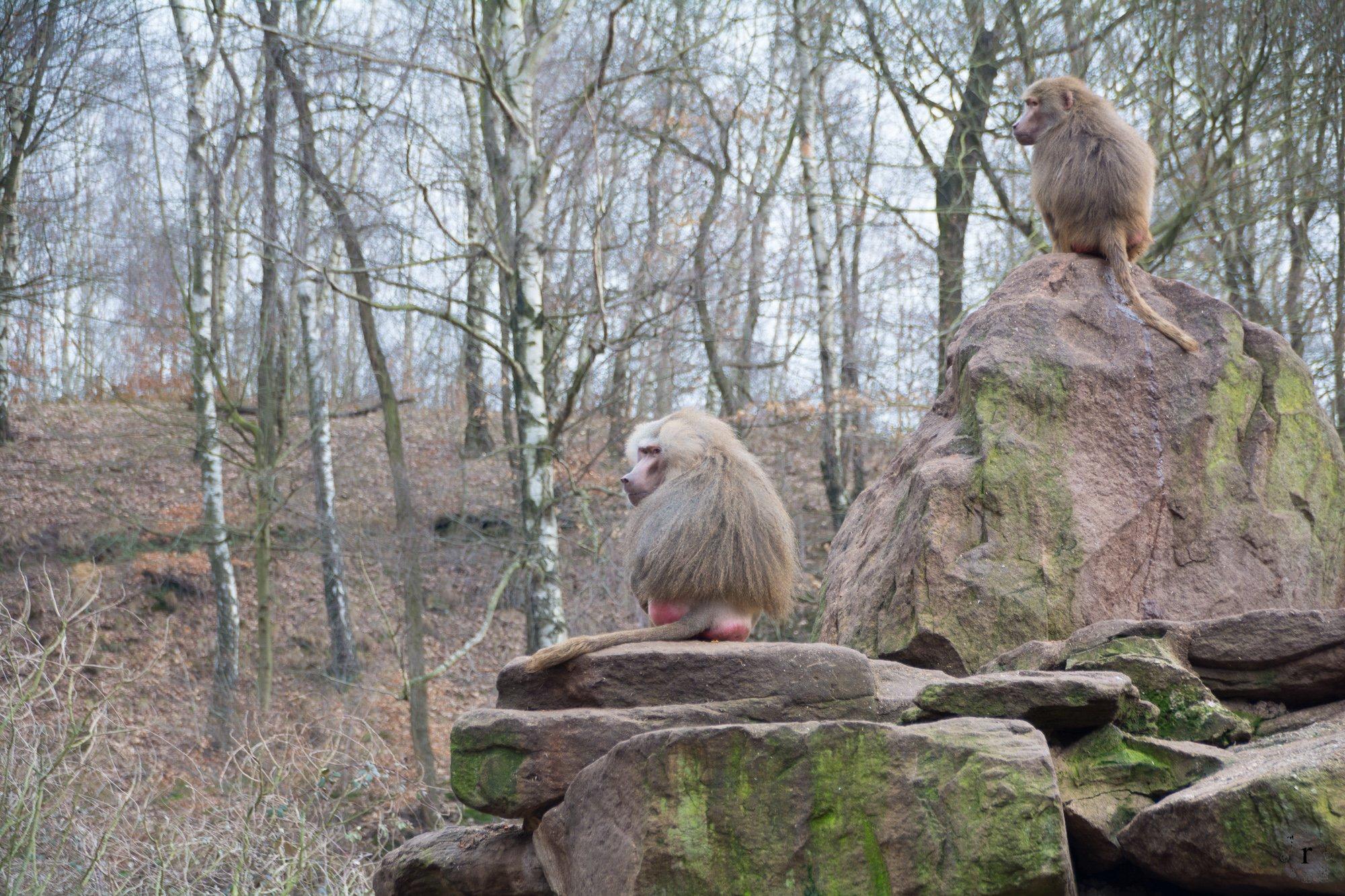 Neunkircher Zoo - Pavian Affen